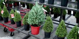 Live Christmas trees or fir trees seem to be gaining popularity in Singapore.