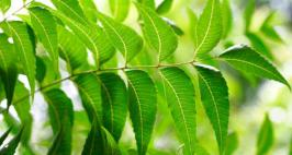 Control Diabetes Naturally With Neem Leaves - Want to reduce your sugar levels with a home remedy? Here's the most effective way to do it